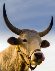 cattle-diseases-cow-cure-prevention-notes